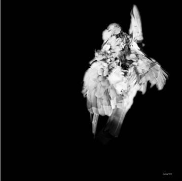 black and white bird aesthetic, stylish, beautiful, Art photographs for sale, roadkill